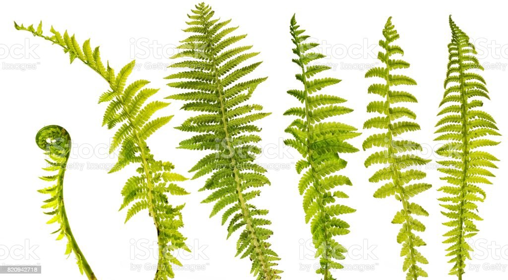 set of six different fern leaves isolated on white background stock photo