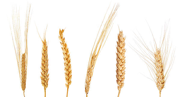 set of six ears of cereals - barley stock pictures, royalty-free photos & images