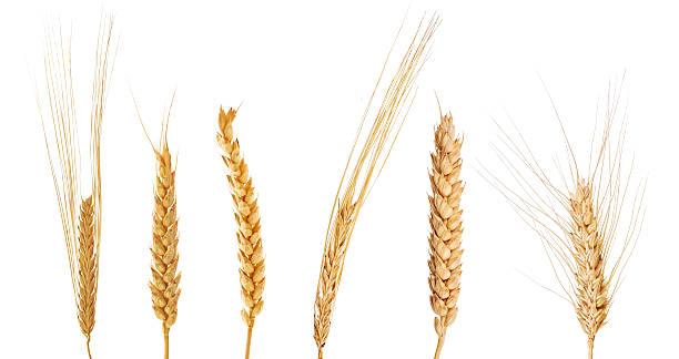 Juego de seis orejas de cereales - foto de stock