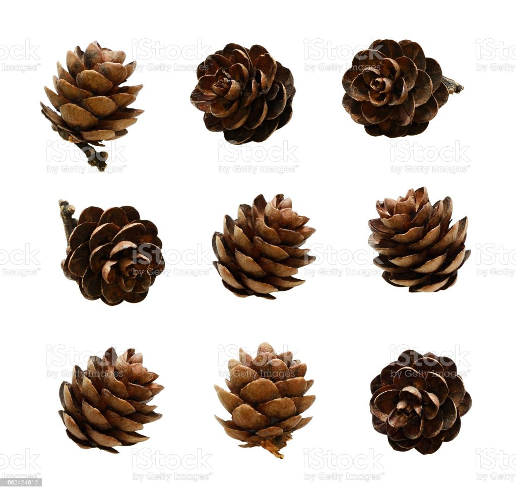 Set of small larch cones royalty-free stock photo