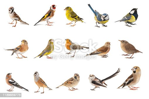Set of small song birds isolated on white background.