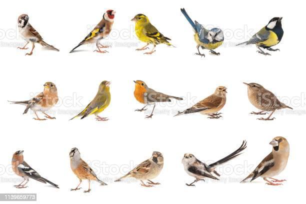 Set of small song birds isolated on white background picture id1139659773?b=1&k=6&m=1139659773&s=612x612&h=8xymragaa2sj5q4qmzoccridrfhrhrxrwzvck0uk5uy=