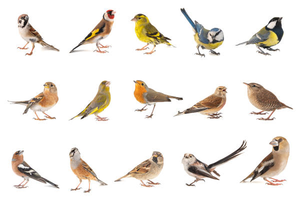 Set of small song birds isolated on white background picture id1139659773?b=1&k=6&m=1139659773&s=612x612&w=0&h=juurk4hfa xvzm6duhxle9v9urvdjn7cctgcdkvm8ds=