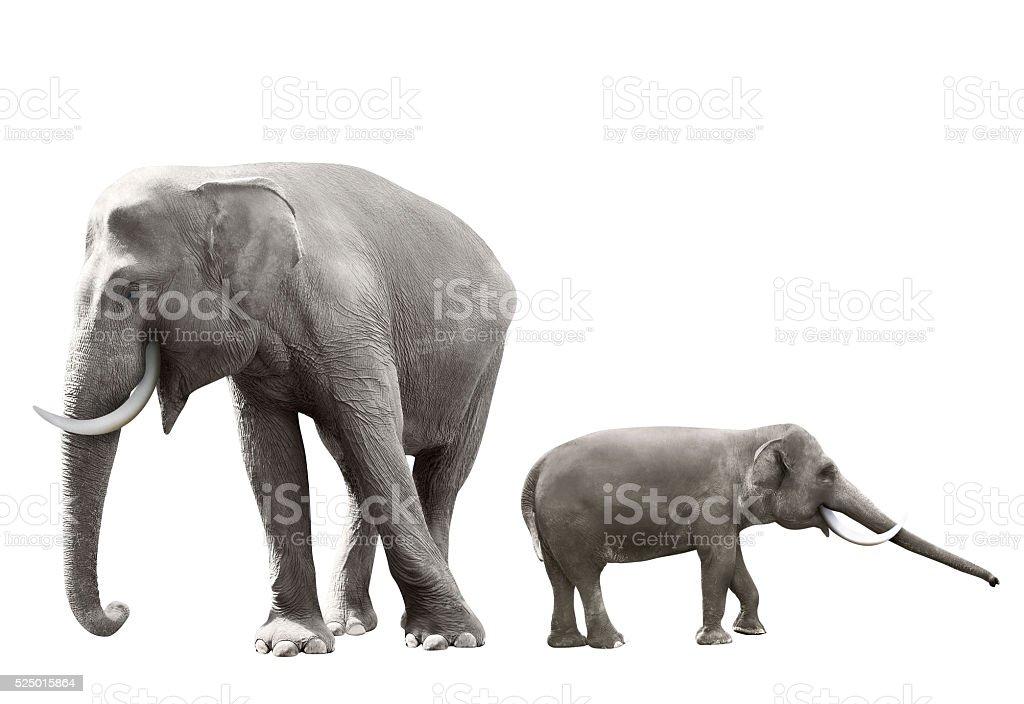 Set of sumatran elephant image stock photo
