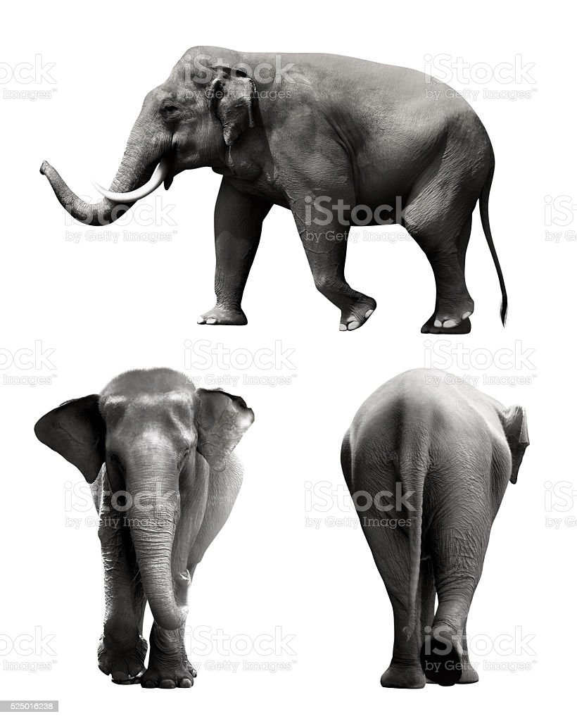 Set of sumatran elephant image stock photo