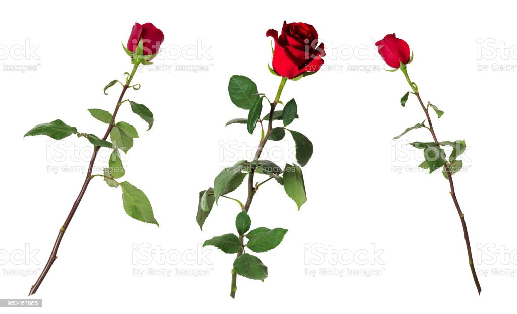 Set of three beautiful vivid red roses on long stems with green leaves isolated on white background stock photo