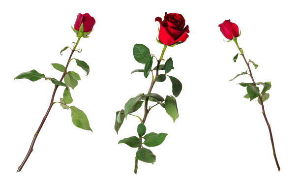 set of three beautiful vivid red roses on long stems with green leaves isolated on white background - plant stem stock pictures, royalty-free photos & images