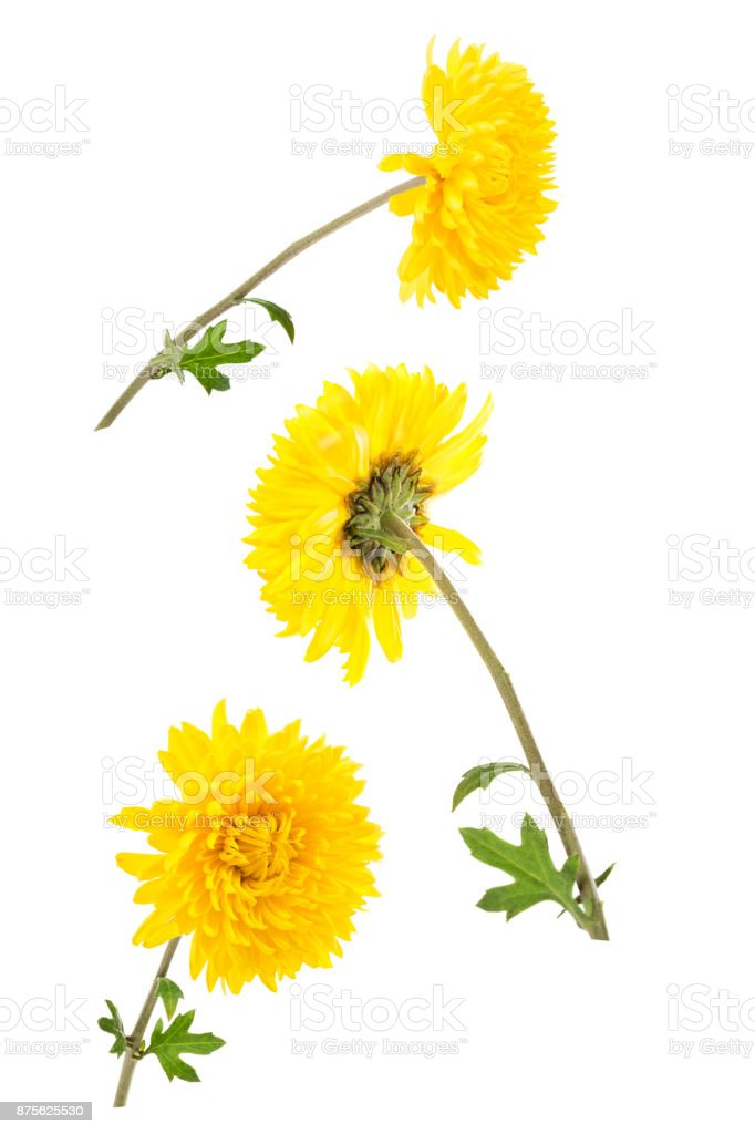 Set of three bright yellow chrysanthemums isolated on white bachground. One flower shot at different angles, stock photo