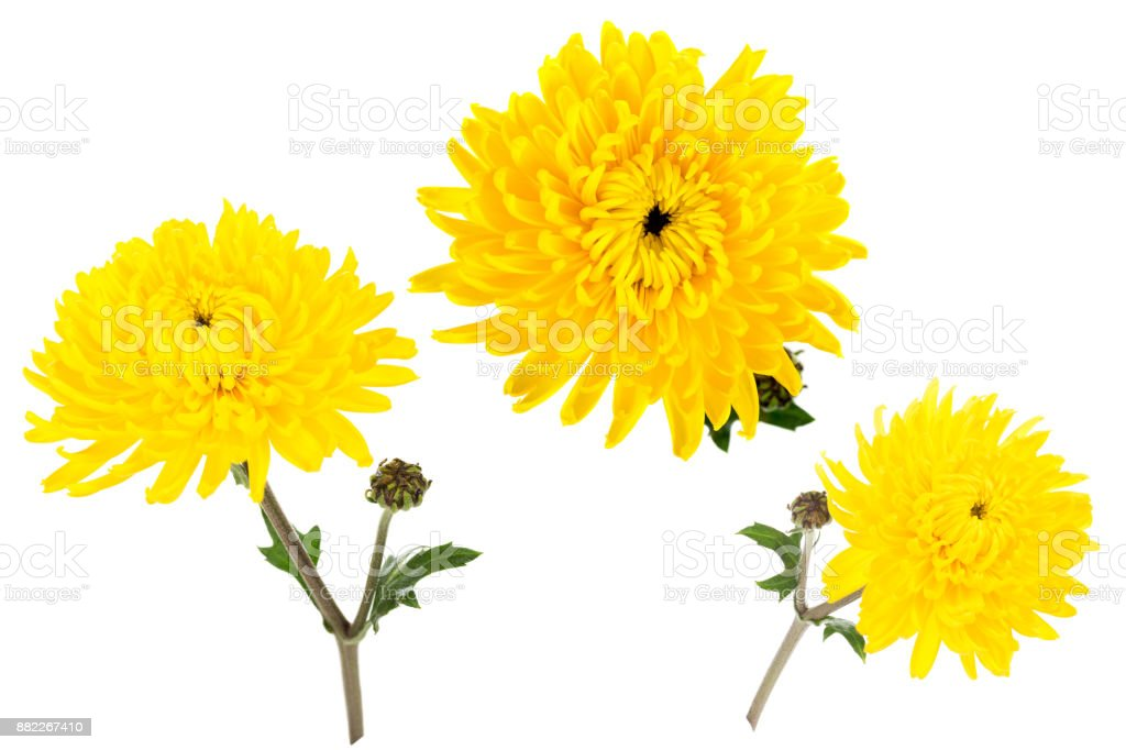 Set of three bright yellow chrysanthemums isolated on white bachground. One flower with bud shot at different angles stock photo