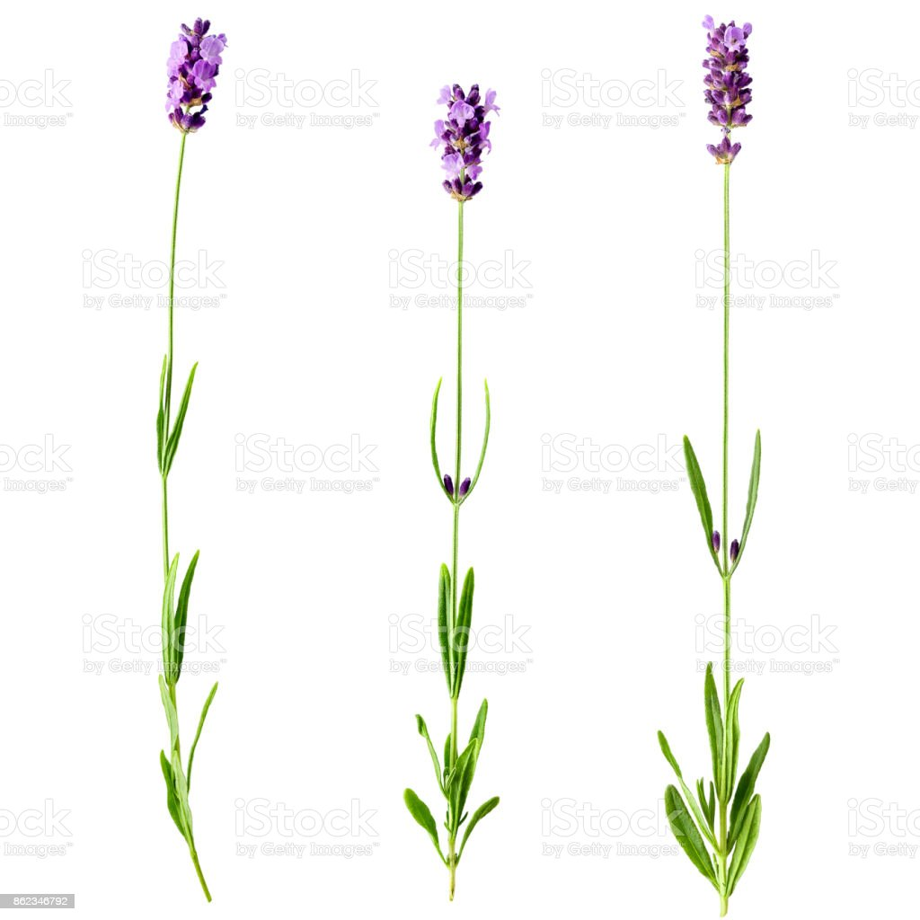 Set of three fresh lavender sprigs with flowers stock photo