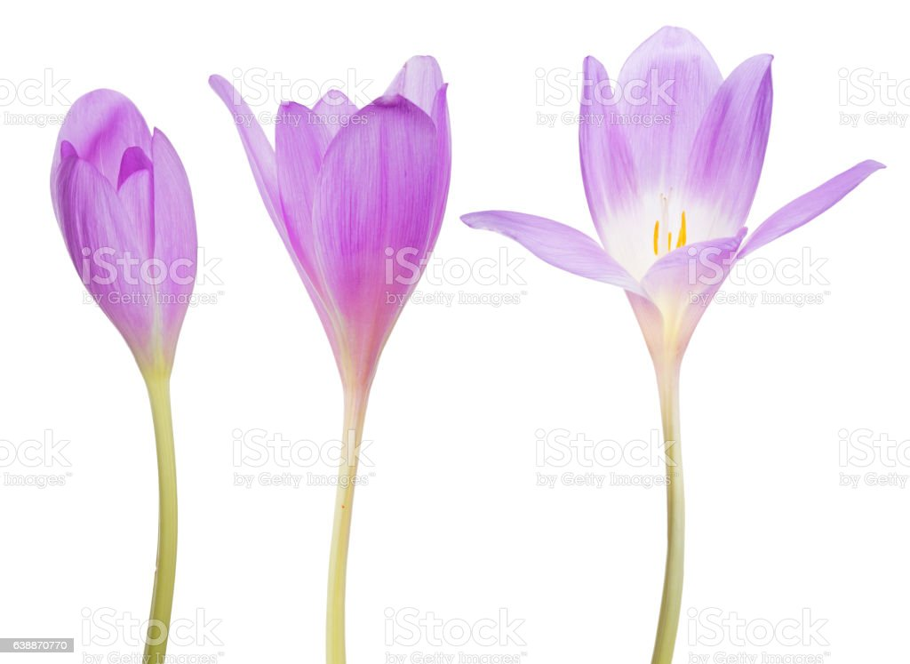 set of three lilac crocus flowers on white stock photo