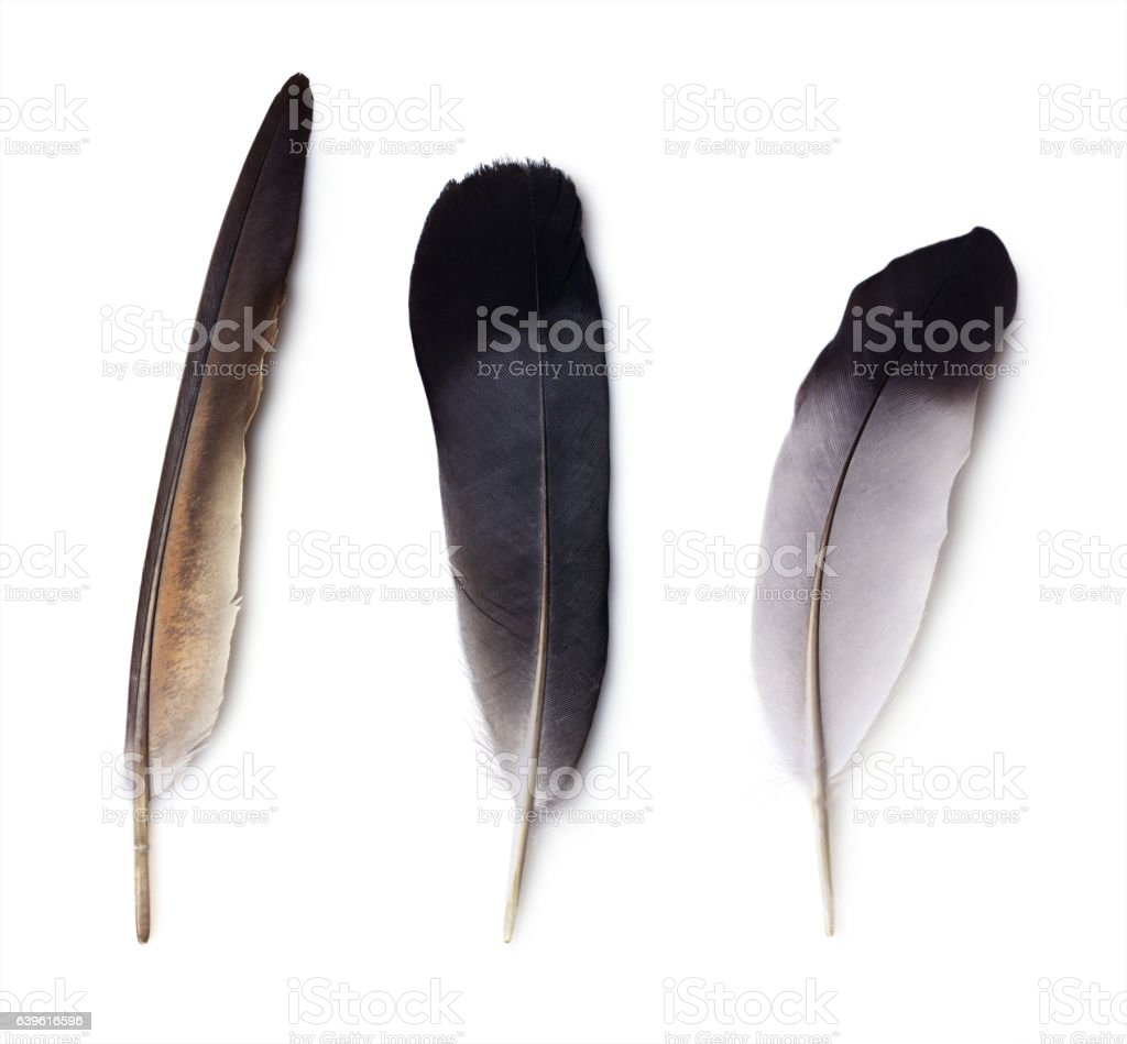 set of three pigeon feathers stock photo