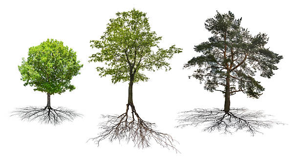 set of three trees with roots isolated on white stock photo