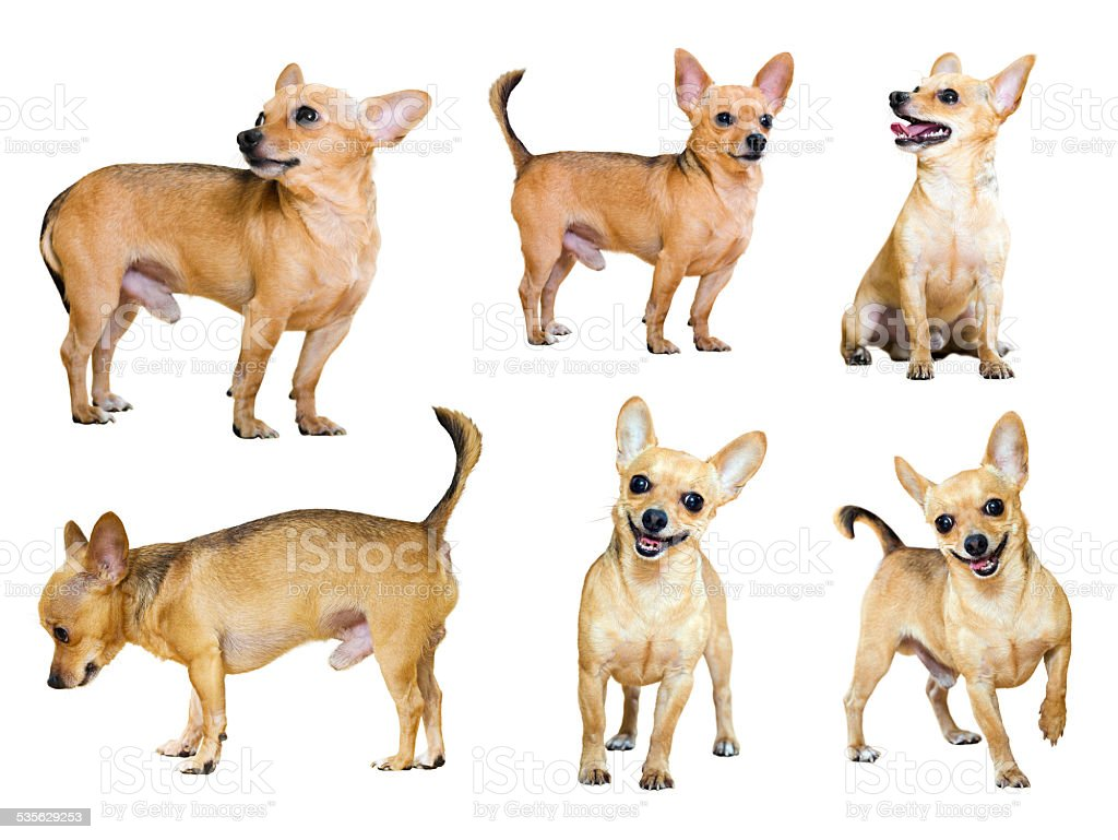 Set of  Toy Terriers stock photo