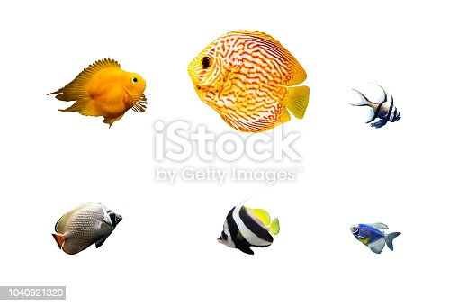 Set of colorful tropical fish isolated on white background. Cichlid, pompadour, cardinalfish, butterflyfish, longfin bannerfish or pennant coralfish, glofish swimming