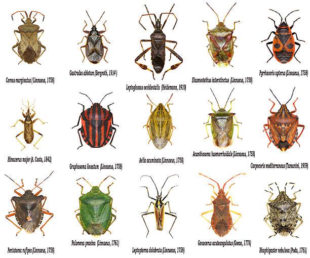 Set of True Bugs of Europe - Hemiptera – Foto