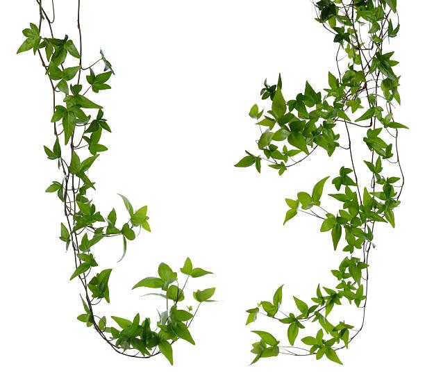 satz von zwei efeu beine isoliert über weiß. - poison ivy pflanzen stock-fotos und bilder