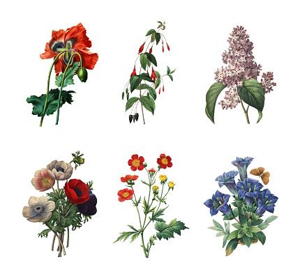 Set of 19th century illustrations of Poppy, Scarlet fuchsia, Lilac,  Anemone simplex, Geum coccineum, Gentiana. Engraving by Pierre-Joseph Redoute. Published in Choix Des Plus Belles Fleurs, Paris (1827).