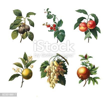 Set of 19th century illustrations of Royal plum, Raspberry, Peaches, Orange fruit, White grape and Pomegranate. Engraving by Pierre-Joseph Redoute. Published in Choix Des Plus Belles Fleurs, Paris (1827).