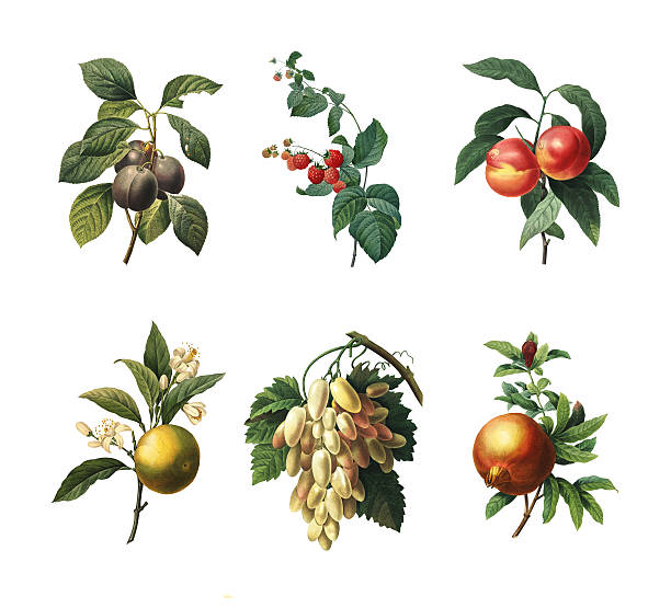 set of various fruits | antique botanical illustration - illustrations stock photos and pictures