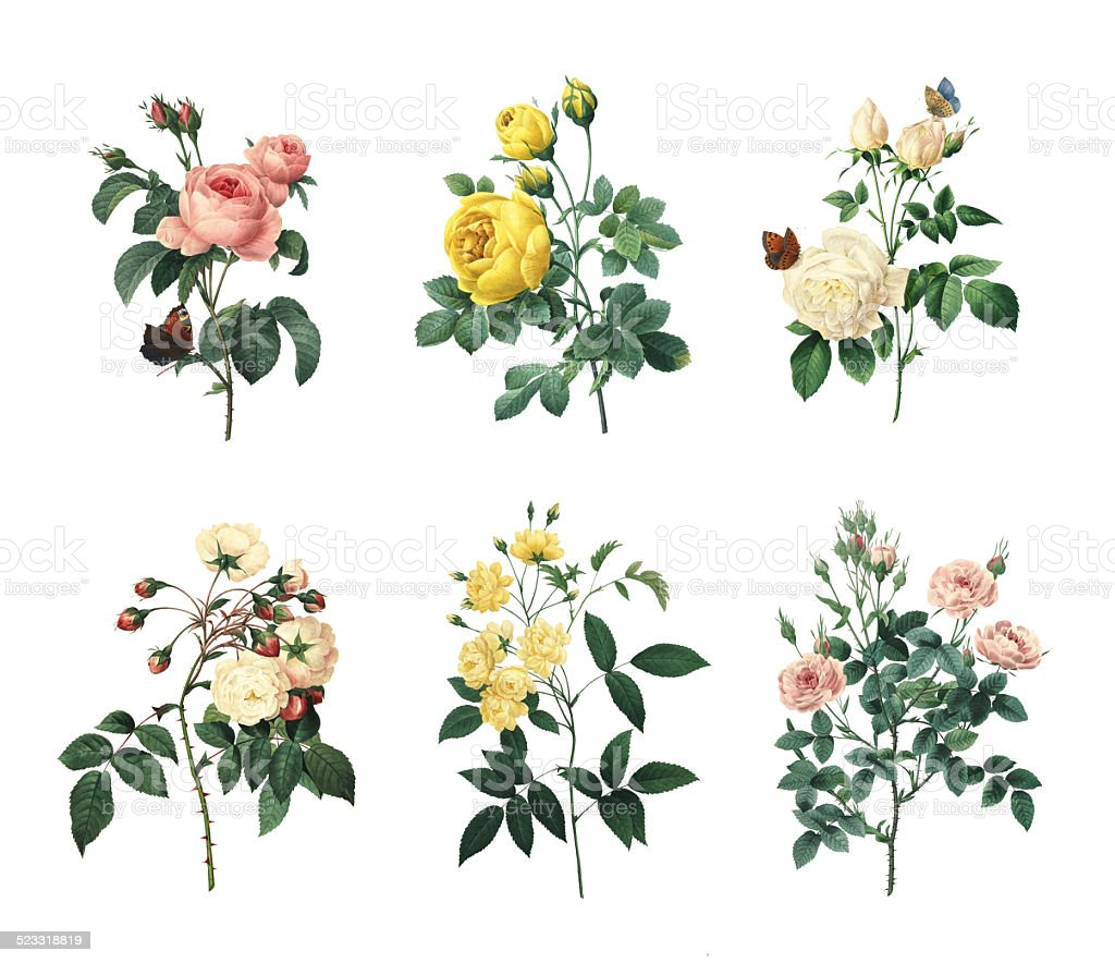 Set of various roses | Antique Flower Illustrations - Stock image...