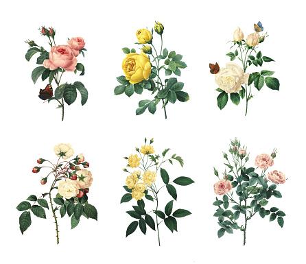 Set of 19th century illustrations of Rosa centifolia, Yellow rose, Tea rose, Rose Adelaide d'Orleans, Rose Of Bancks, Pompon rose. Engraved by Pierre-Joseph Redoute (1759 - 1840), nicknamed