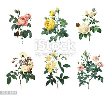 Set of 19th century illustrations of Rosa centifolia, Yellow rose, Tea rose, Rose Adelaide d'Orleans, Rose Of Bancks, Pompon rose. Engraved by Pierre-Joseph Redoute (1759 - 1840), nicknamed