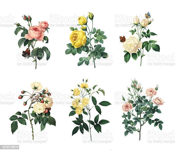 Set of various roses antique flower illustrations picture id523318819?b=1&k=6&m=523318819&s=612x612&h=b hv6ax7qxuniv1193pyvczo4ns6zxgpy60lcykodhu=