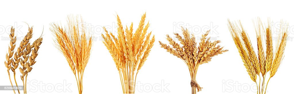 set of various wheat ears stock photo