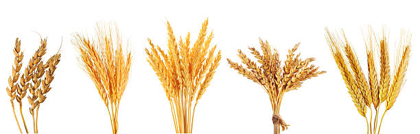 set of various wheat ears set of various wheat ears isolated on white background ear of wheat stock pictures, royalty-free photos & images