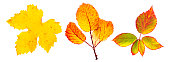 A set of vibrant autumn leaves, isolated on a white background