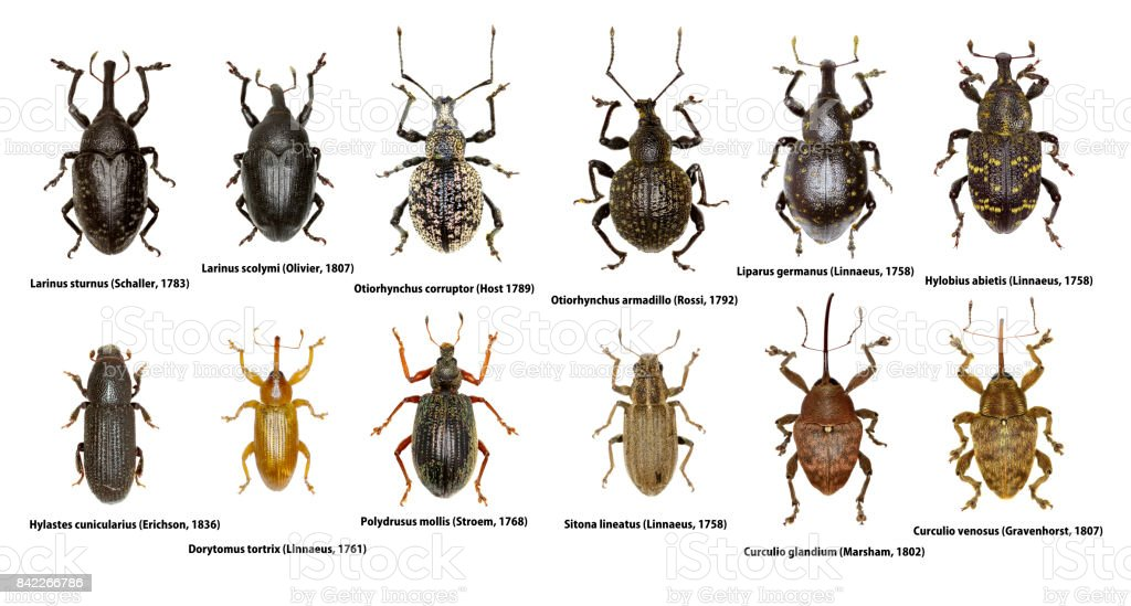 Conjunto de besouros de Weevil da Europa - Curculionoidea - foto de acervo