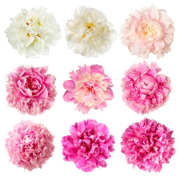 Conjunto de flores peônia branca e rosa - foto de acervo
