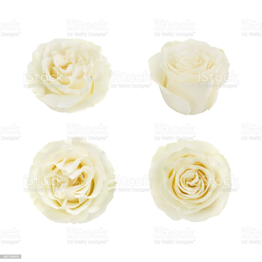 Set of white roses. Detailed retouch stock photo