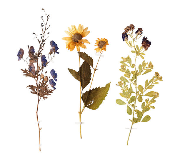 Set of wild dry pressed flowers and leaves Set of herbarium wild dry pressed flowers and leaves, isolated dried plant stock pictures, royalty-free photos & images