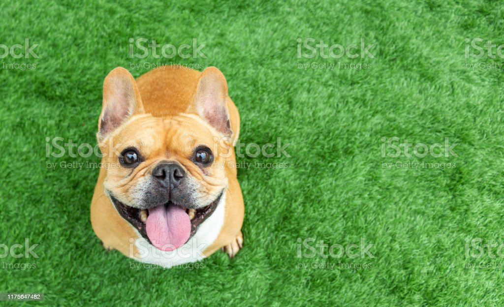 Set of young puppy french bulldog playing and activity around the house both indoor and outdoor Set of young puppy french bulldog playing and activity around the house both indoor and outdoor Animal Stock Photo
