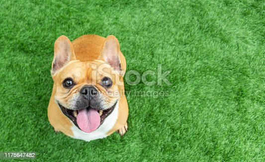 istock Set of young puppy french bulldog playing and activity around the house both indoor and outdoor 1175647482