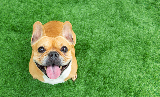 Set Of Young Puppy French Bulldog Playing And Activity Around The House Both Indoor And Outdoor Stock Photo - Download Image Now
