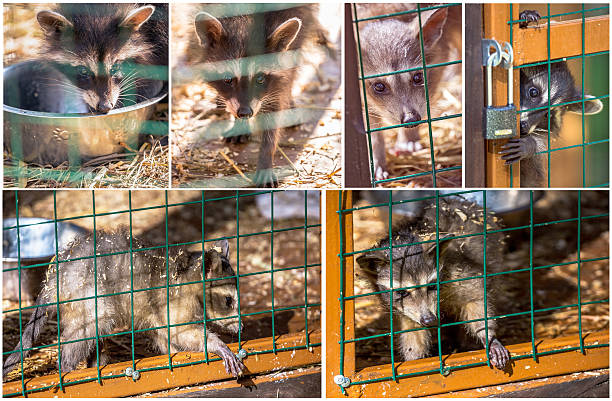set pictures of raccoons in zoo jail - cage animal nuit photos et images de collection