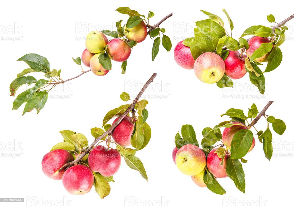 Set ripe apples on a branch isolated on white background stock photo