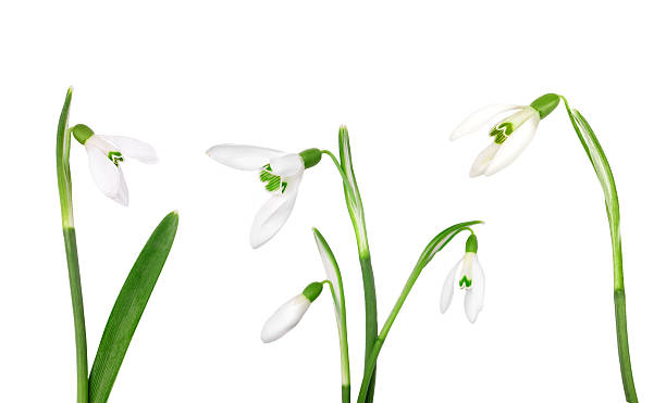 set snowdrop flower isolated on white background - snowdrop stock pictures, royalty-free photos & images