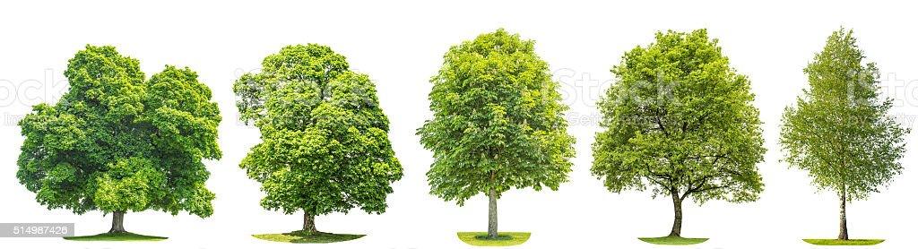 Conjunto de árvores de carvalho, Carvalho, bétula, castanha. Objetos isolados - foto de acervo