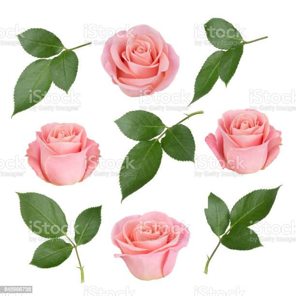Set with pink roses and leaves as design elements picture id845966738?b=1&k=6&m=845966738&s=612x612&h=syhismla3xmdlhxxq8vrl6u  klr37wnp3ci1ayadz8=