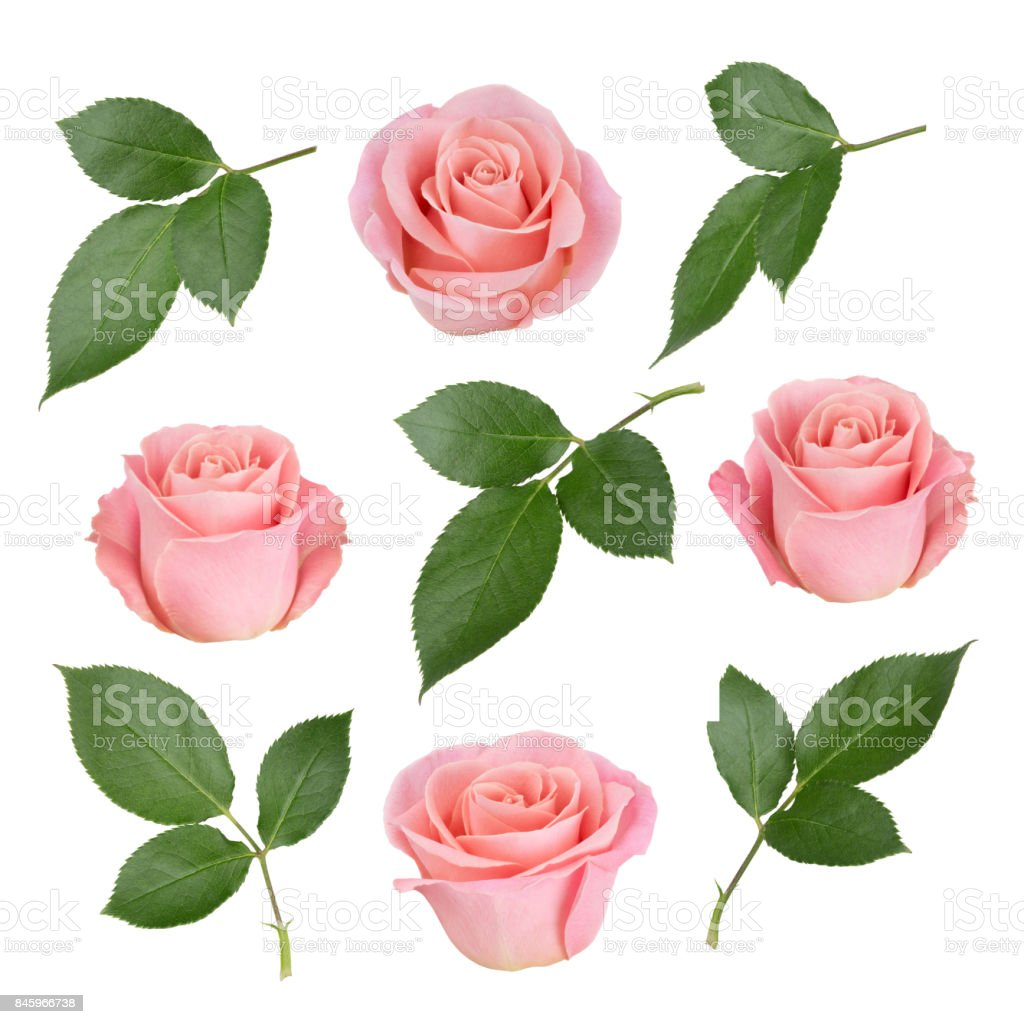 Set with pink roses and leaves. As design elements. stock photo