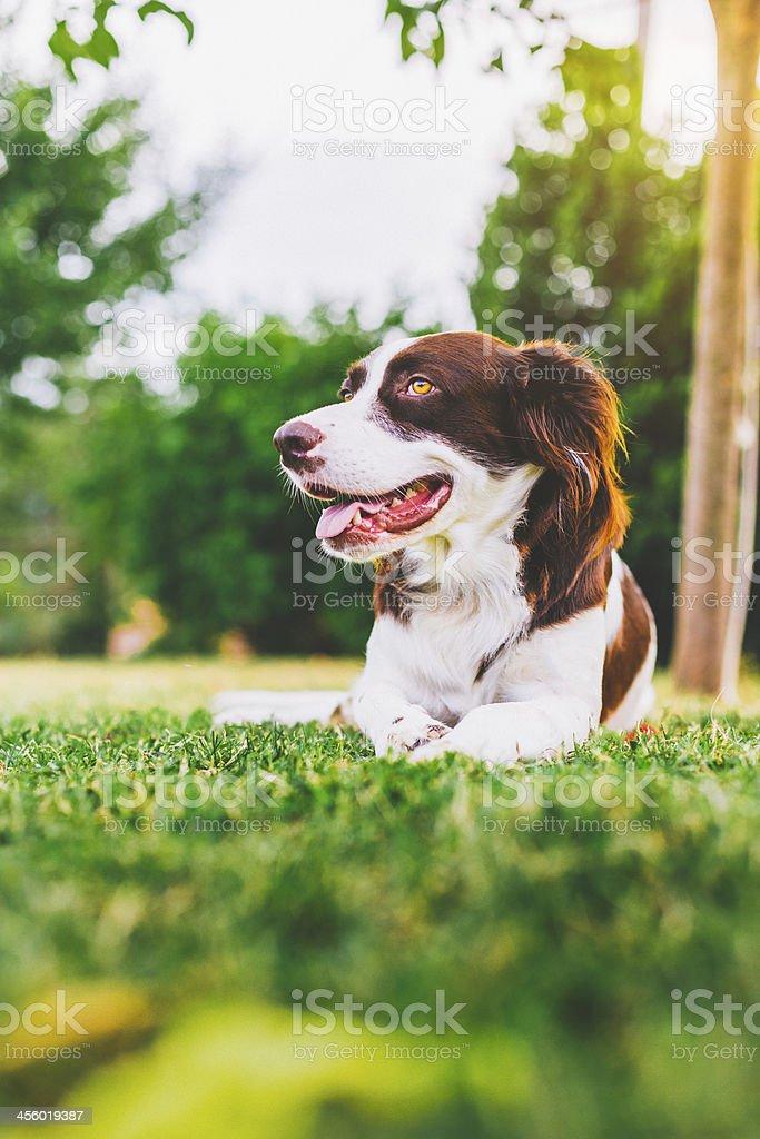 Setter Dog Hound royalty-free stock photo