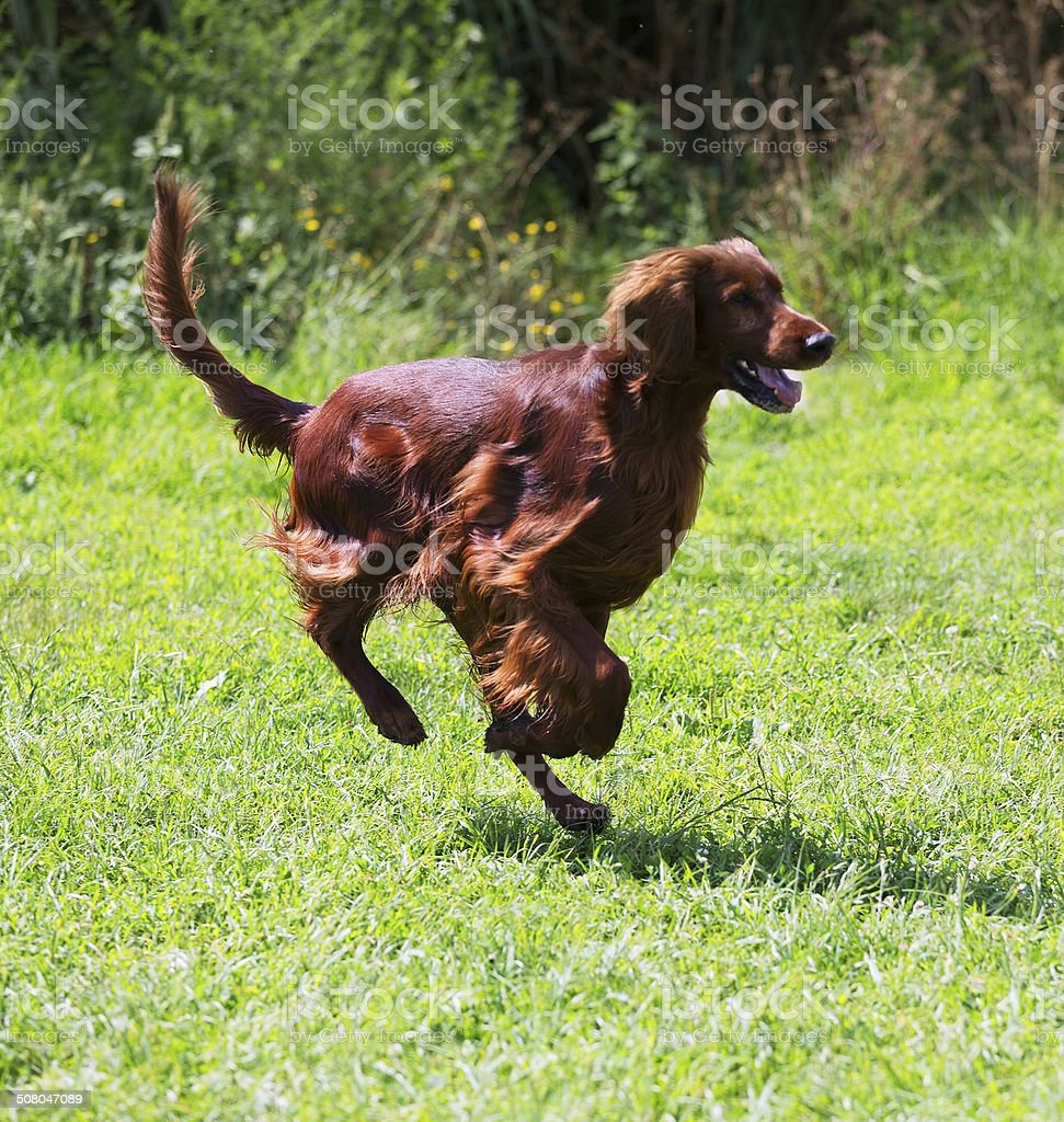 Setter running  at park stock photo