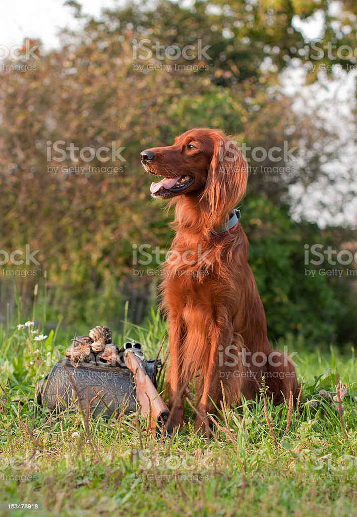 setter with trophy stock photo