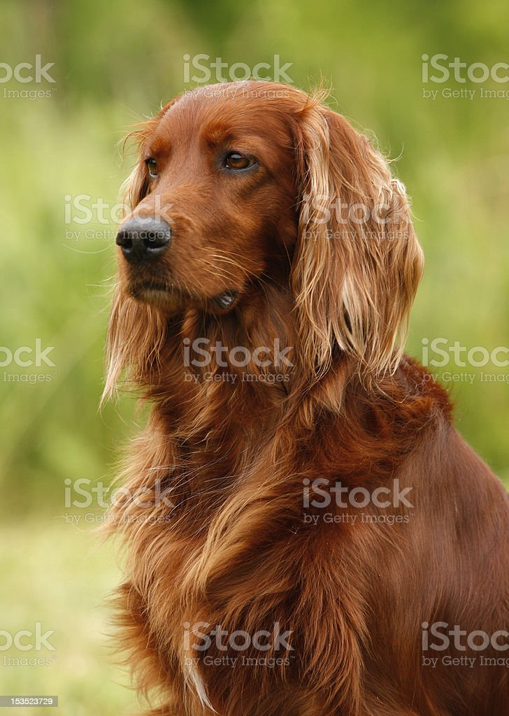 setter's portrait stock photo