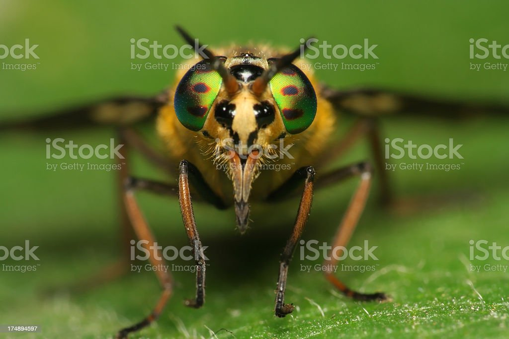 Setting Fly on Leaf Close up royalty-free stock photo