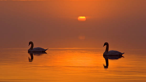 Setting sun and swans stock photo